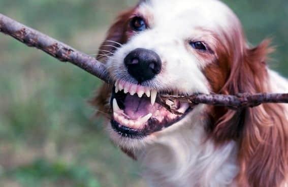 Salud Dental Perros
